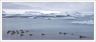 Стая обыкновенных гаг. Гаги известны прежде всего своим лёгким эластичным пухом, которым утепляют одежду полярников и альпинистов.