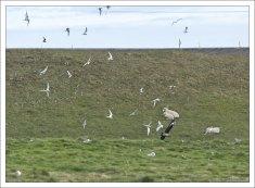 Поморник (в нижней части фотографии) - очень агрессивная морская птица всполошила колонию полярных крачек.