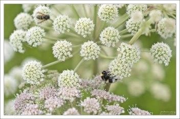Пчелы просто обожают лекарственный дягиль (лат. Angélica archangélica).