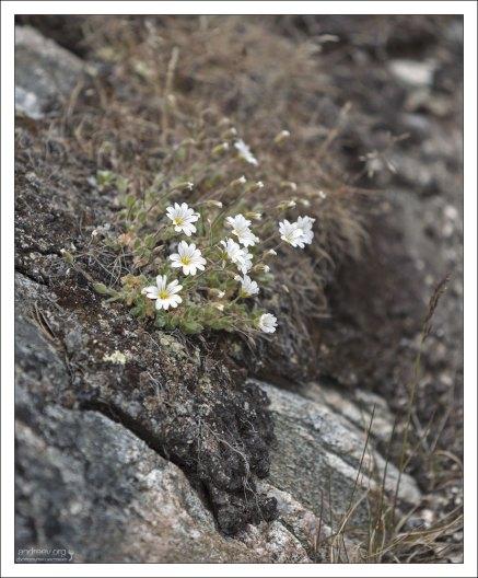 Ясколка альпийская (Cerastium alpinum L.) - самый северный обитатель суши среди цветковых растений. Замечена на широте 83°24' с. ш. Дальше только некоторые мхи, лишайники и водоросли.