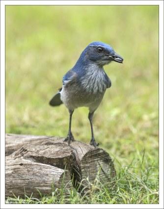 Голубая сойка часто имитирует громкий крик ястреба, чтобы отогнать от лесной кормушки своих пищевых конкурентов: дятлов, скворцов и серых белок.