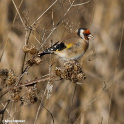 Steglits (hane) / European Goldfinch (male)