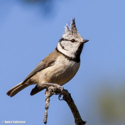Tofsmes / Crested Tit