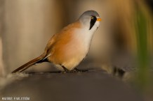Skäggmes (hane) / Bearded Tit (male)