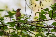 Bofink (hane) / Chaffinch (male)
