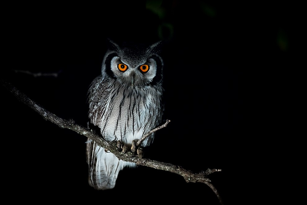 Image of a scope owl by birds canon 5DS r