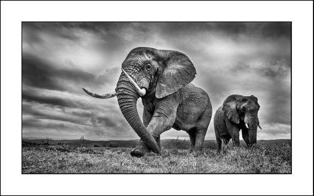 The wildlife photographer image of an African Elephant in black and white , monochrome taken at Kariega Private game reserve