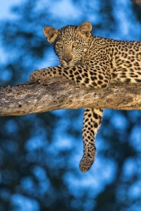 Digital witchcraft and a image of a leopard in a tree