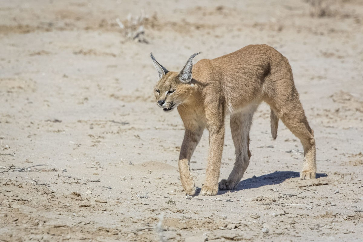 Kgalagadi Private Safari – 7 Days