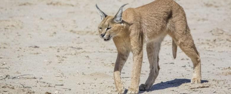 Kgalagadi Private Safari
