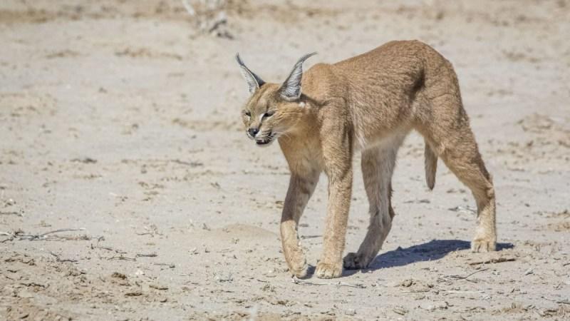 Kgalagadi Private Safari – 7 Days