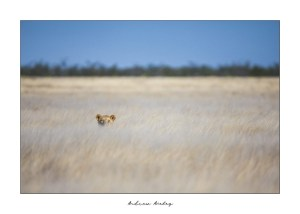 Etosha Queen - Lion Fine Art Print by Andrew Aveley - purchase online
