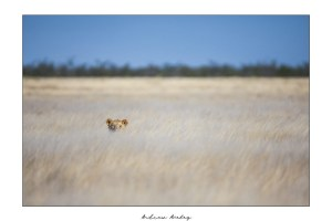 Etosha Queen - Lion Fine Art Print by Andrew Aveley - purchase online