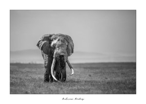 Tim the Giant - Elephant Fine Art Print by Andrew Aveley - purchase online