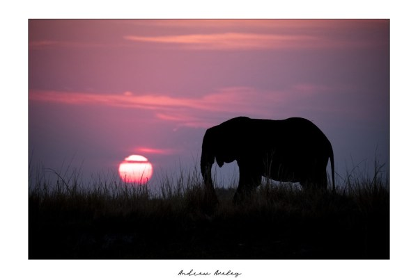 Sunset Light - Elephant Fine Art Print by Andrew Aveley - purchase online