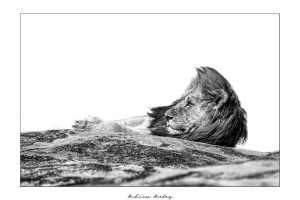 Resting - Lion Fine Art Print by Andrew Aveley - purchase online