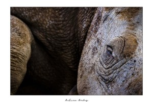 Intimate Moment - Rhino Fine Art Print by Andrew Aveley - purchase online