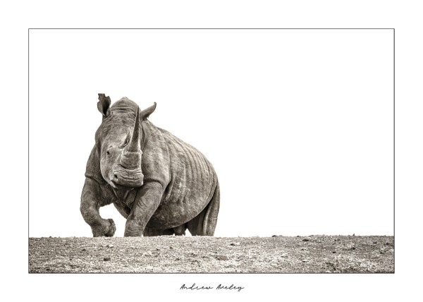 The Behemoth - Rhino Fine Art Print by Andrew Aveley - purchase online