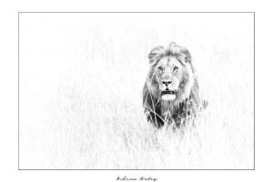 Mara Power - Lion Fine Art Print by Andrew Aveley - purchase online