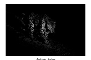 Mafufanyane - Leopard Fine Art Print by Andrew Aveley - purchase online