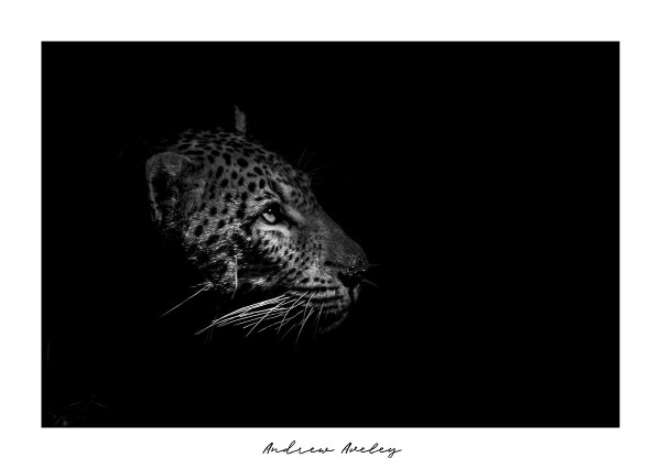 Into the light - Leopard Fine Art Print by Andrew Aveley - purchase online
