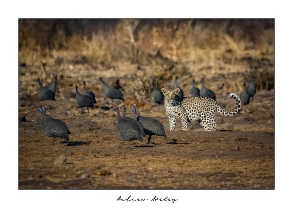 The Birds - Leopard Fine Art Print by Andrew Aveley - purchase online