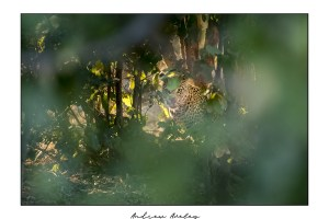 Hidden - Leopard Fine Art Print by Andrew Aveley - purchase online