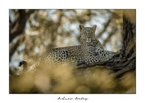Delta - Leopard Fine Art Print by Andrew Aveley - purchase online