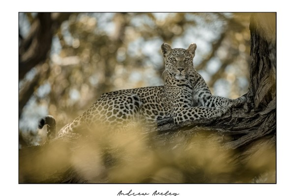Delta - Leopard Fine Art Print by Andrew Aveley - purchase online