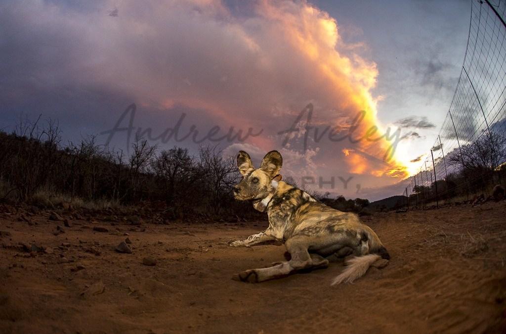 Wild Dog Initiative