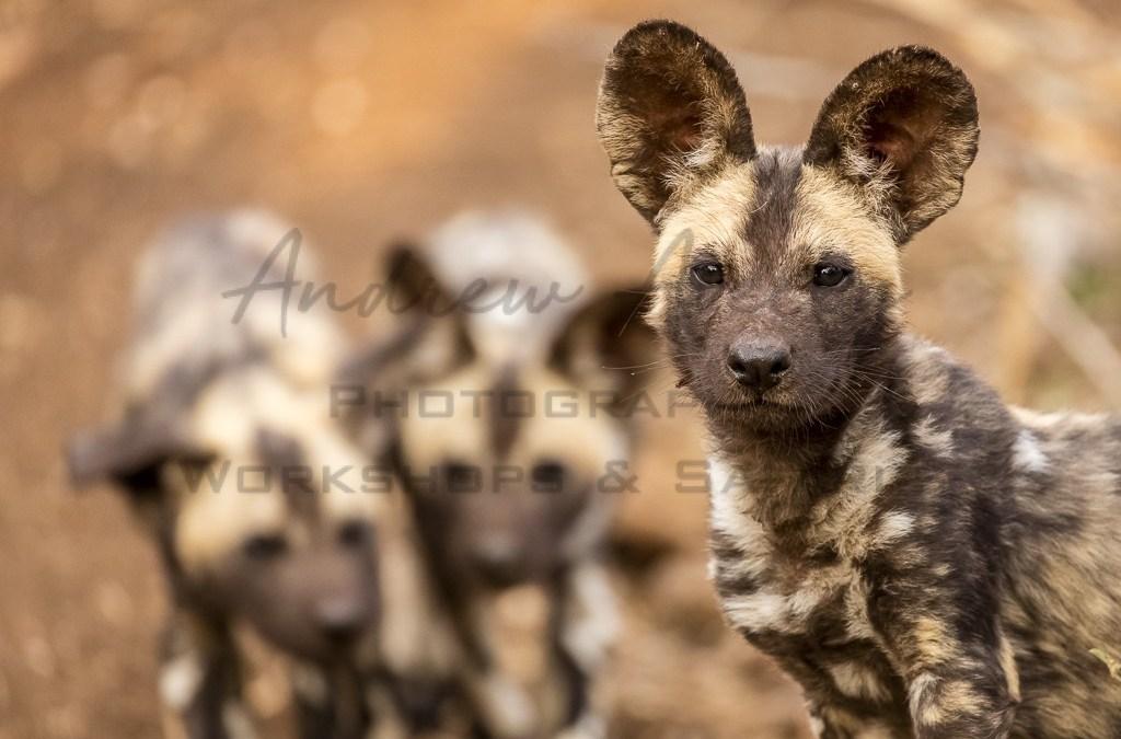 Zimanga Wild Dogs