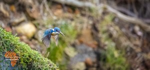 Image taken with Canon EOS R6 Half Collared Kingfisher