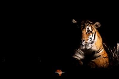 Bengal Tigers of Tiger Canyon
