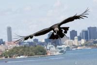"""Bombs away"" - Andean Condor (B-52 of birds)"