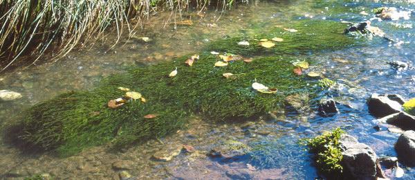 Fontinalis antypir tica musgo de agua acuaestanques for Compro estanque de agua
