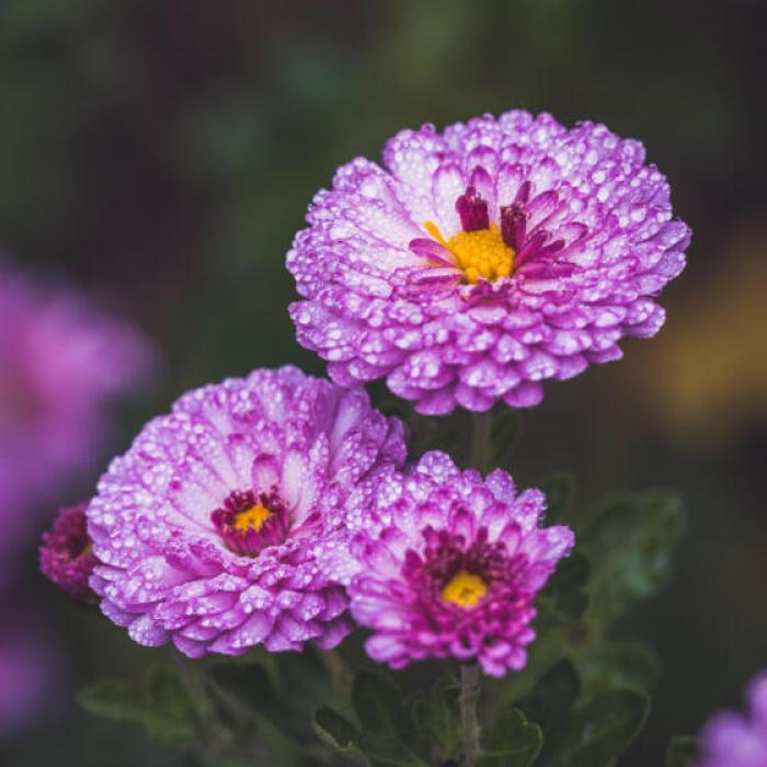 3 purple asters