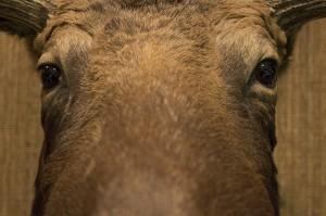 Moose Original