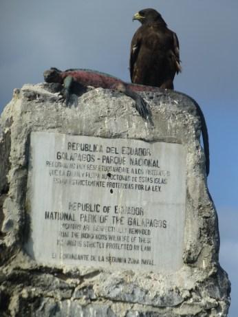 Galapagos hawk en marine iguana