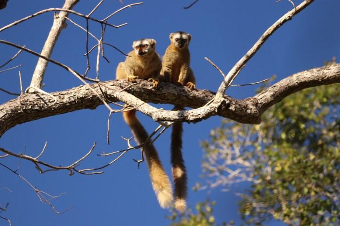 Bruine lemuren bij de ochtendwandeling