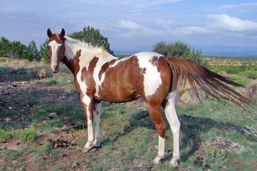 Paint Quarter Horse for Sale   An Eclectic Mind