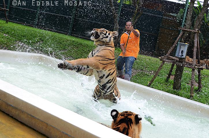 Tiger Kingdom 10
