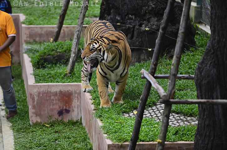 Tiger Kingdom 12