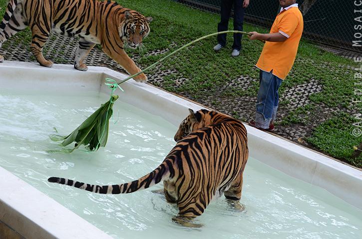 Tiger Kingdom 8