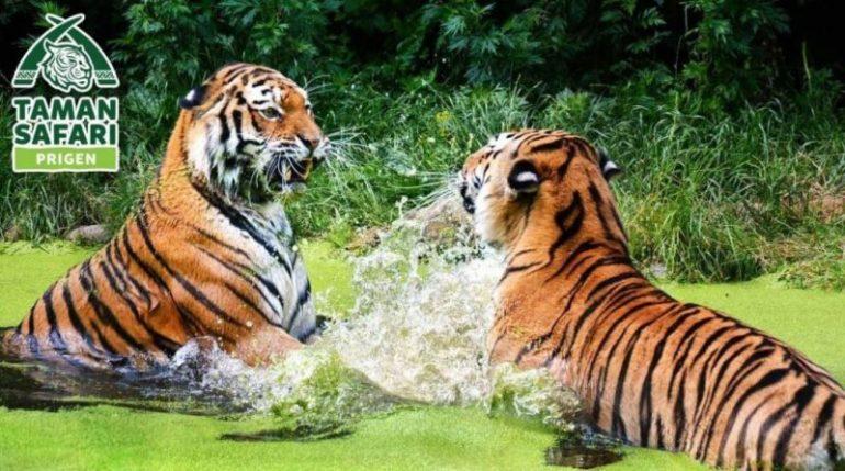 Harimau Taman Safari Prigen