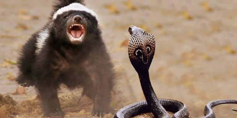 Los tejones cazadores de serpientes, el animal más temerario del planeta