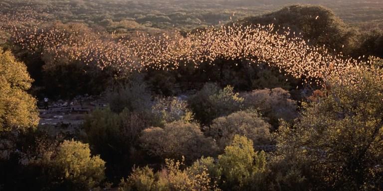 La mayor población de murciélagos del mundo, la caverna Bracken