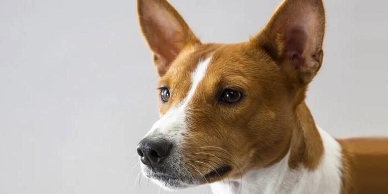 Los basenjis los perros que no pueden ladrar