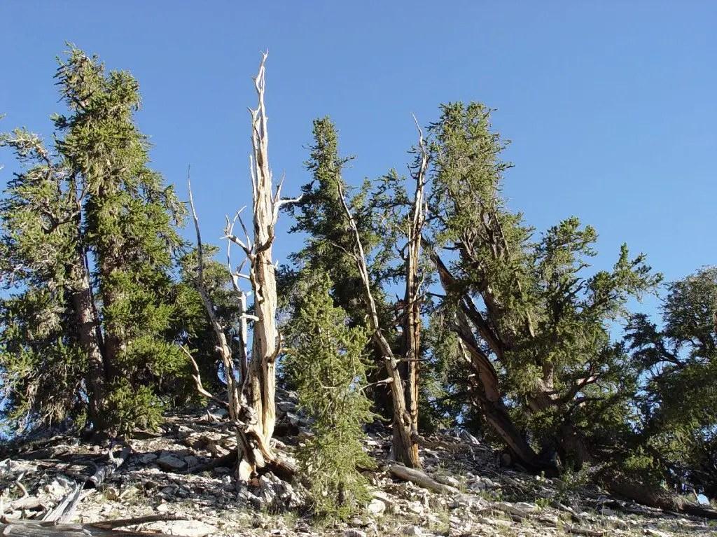 Fotografía del árbol más viejo del mundo.
