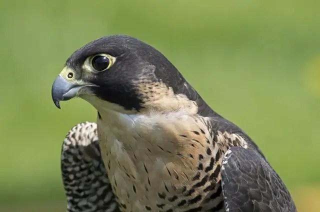 Detalle de un halcón peregrino.
