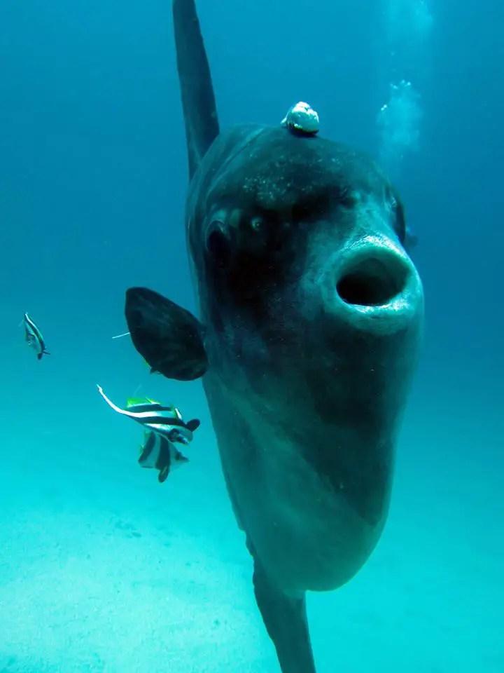 Fotografía de un mola mola.